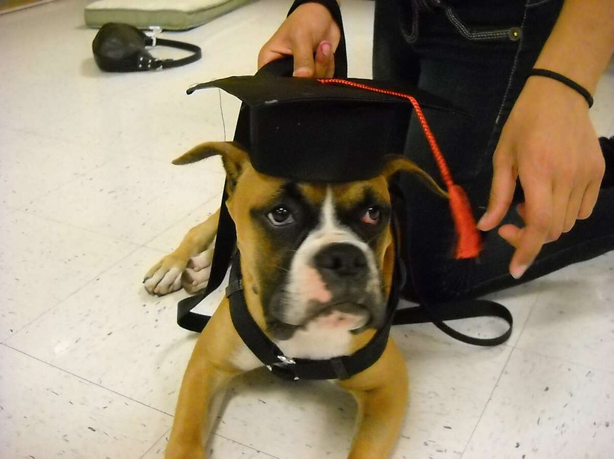 The Torres family's boxer Jordan. San Mateo police fatally shot the dog and another family dog Sept. 26, 2011, when they got out of their yard and allegedly threatened children in a nearby park.