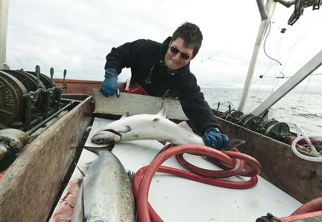 Matt Forve, skipper and owner of the Melissa Jo, wrestles a king salmon on his boat near Half Moon Bay California, U.S., on Sunday, May 8, 2011. The Pacific Coast salmon fishing season opened May 1, three years after the main salmon run collapsed and regulators prohibited commercial fishing. Salmon trollers can use no more than six lines and are allowed to keep fish that are 27 inches or longer. Photographer: Chip Chipman/Bloomberg *** Local Caption *** Matt Forve  Ran on: 05-22-2011 Matt Forve, skipper and owner of the Melissa Jo, wrestles a king salmon on his boat near Half Moon Bay.  Ran on: 07-25-2011 Matt Forve wrestles a salmon on  his boat in Half Moon Bay in May.  The fish population has fallen with habitat degradation. Photo: Chip Chipman, Bloomberg