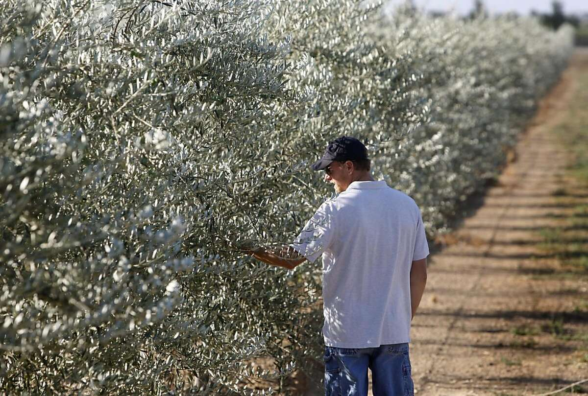 Grower Heath Burreson inspects the crop on his olive trees in Orland, Calif. on Thursday, Sept. 1, 2011. As an experient, Burreson's orchard is being raised to be harvested mechanically, in an industry which traditionally has been harvested entirely by hand. Federal subsidies to help Morocco expand its olive industry has adversely affected California's olive growers.
