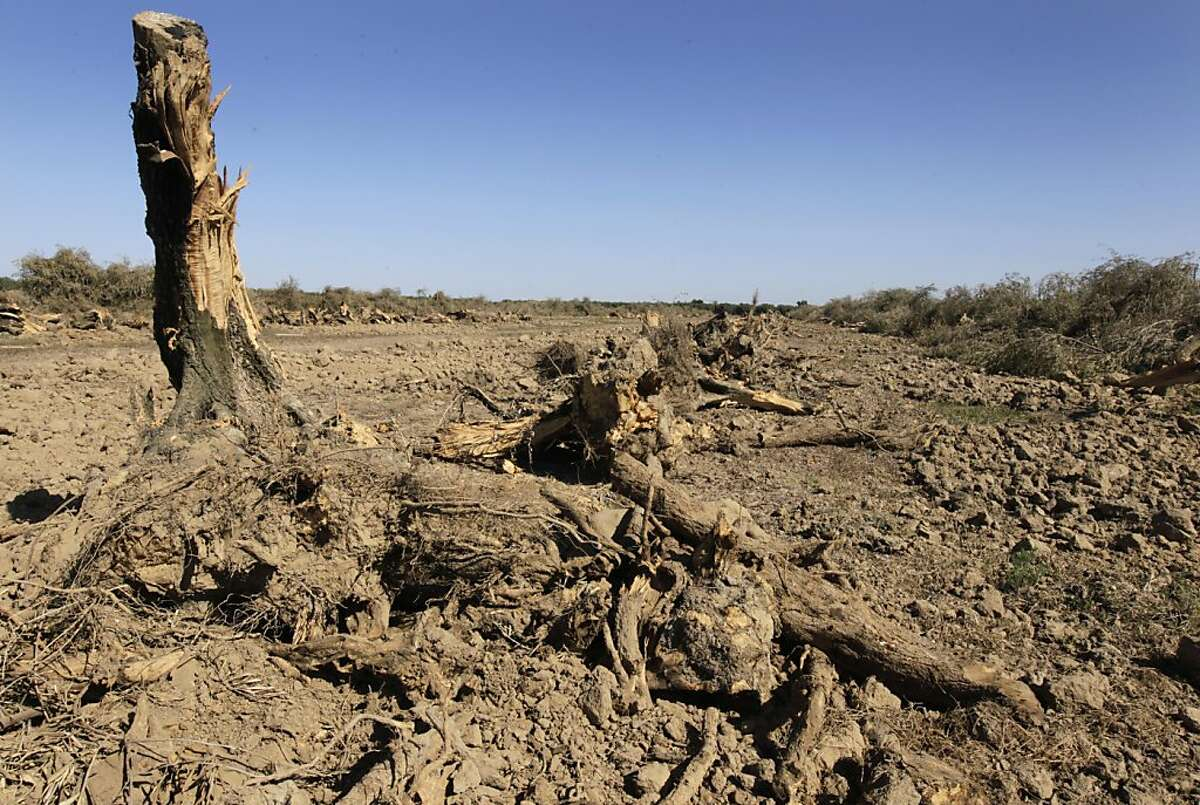 An olive orchard is uprooted in Orland, Calif. on Thursday, Sept. 1, 2011. California's olive business is dwindling, partly because of federal subsidies to help Morocco's olive industry, forcing grower John Erickson to rip up his 2,000 olive tree orchard and plant a walnut grove instead.