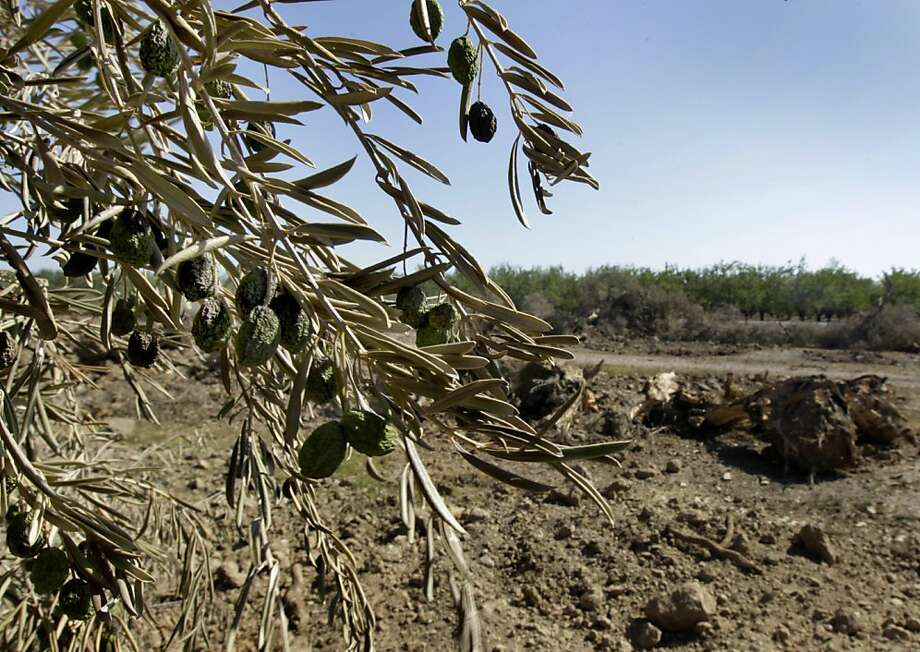 An olive orchard is uprooted in Orland, Calif. on Thursday, Sept. 1, 2011. California's olive business is drying up, partly because of federal subsidies to help Morocco's olive industry, forcing grower John Erickson to rip up his 2,000 olive tree orchard and plant a walnut grove instead. Photo: Paul Chinn, The Chronicle