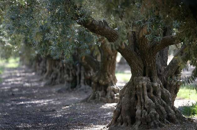 One hundred-year-old olive trees grow in an orchard in Orland, Calif. on Thursday, Sept. 1, 2011. Federal subsidies to help Morocco expand its olive industry has adversely affected California's olive growers. Photo: Paul Chinn, The Chronicle