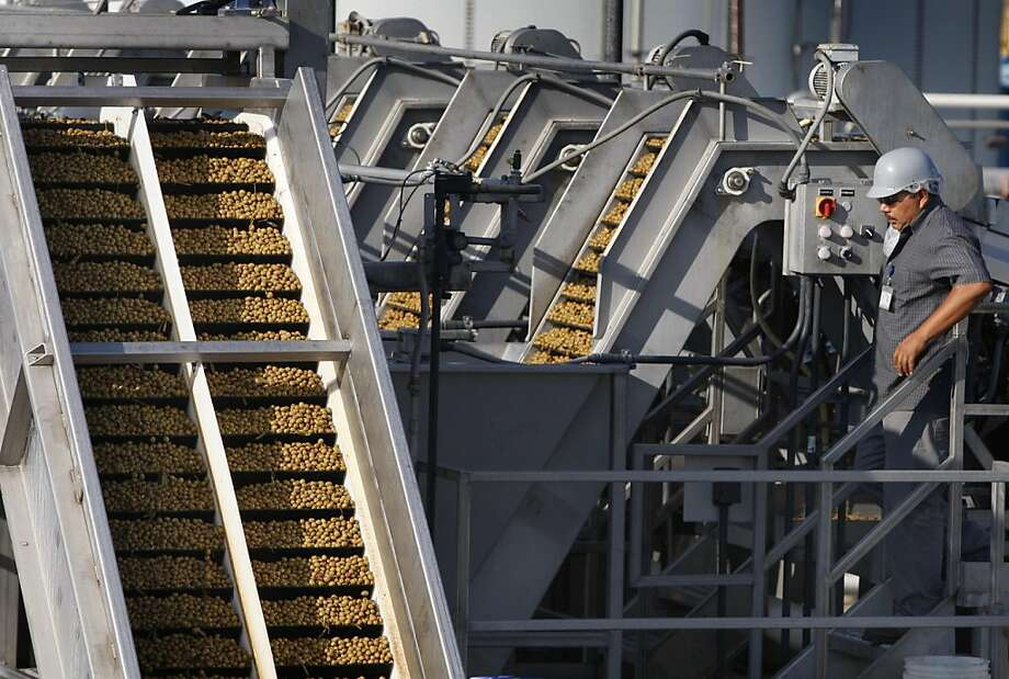 A factory worker monitors conveyors transporting olives at the Musco Family Olive Co. plant in Tracy, Calif. on Tuesday, Sept. 13, 2011. Photo: Paul Chinn, The Chronicle
