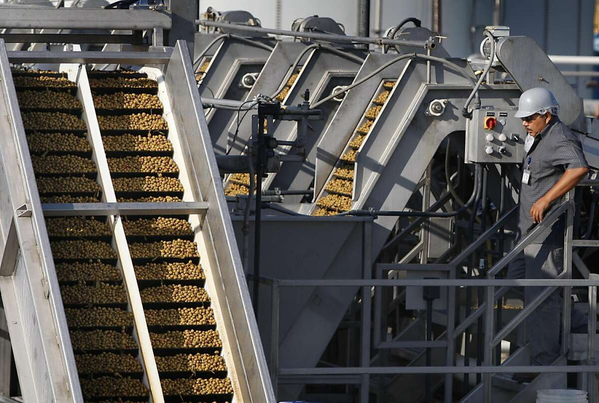 A factory worker monitors conveyors transporting olives at the Musco Family Olive Co. plant in Tracy, Calif. on Tuesday, Sept. 13, 2011.