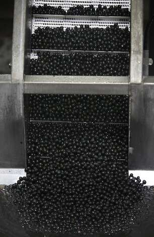 Black olives are loaded on a conveyor before they're pitted and canned at the Musco Family Olive Co. plant in Tracy, Calif. on Tuesday, Sept. 13, 2011. Photo: Paul Chinn, The Chronicle