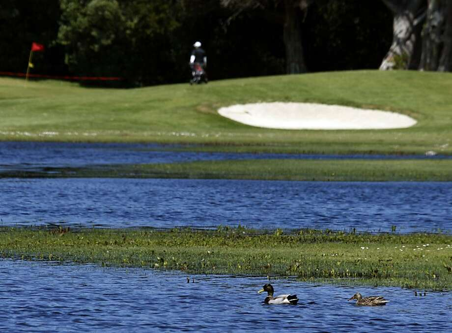 Mallard ducks wade in wetlands that have encroached onto the 14th fairway at Sharp Park Golf Course in Pacifica, Calif., on Wednesday, April 1, 2009. Normally rated as a par four, the 14th hole becomes a shortened par three when the wetlands floods the fairway. Ran on: 04-08-2009 Mallard ducks wade in wetlands that have encroached onto the golf course's 14th fairway. Photo: Paul Chinn, The Chronicle