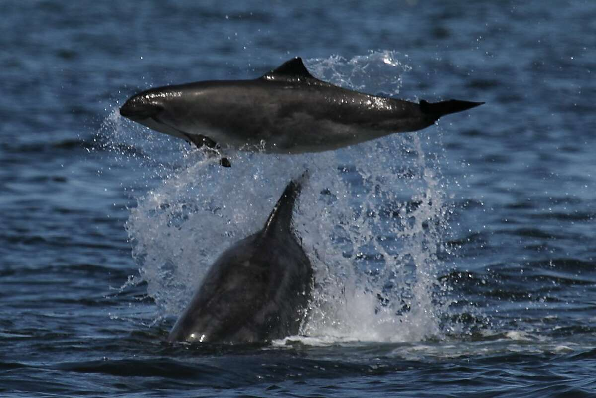 A California coastal bottlenose dolphin tossing a harbor porpoise in the air