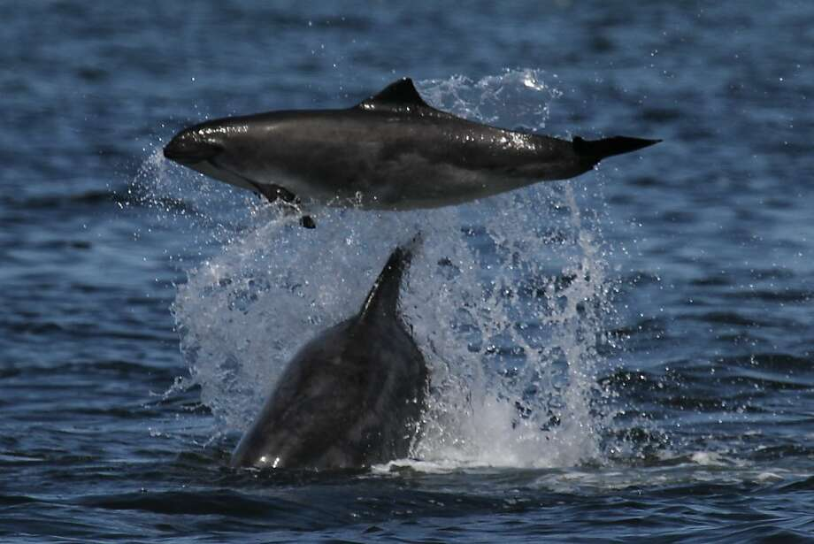"A California coastal bottlenose dolphin tossing a harbor porpoise in the air"" or something to that effect. In the one where the dolphin is on the left and the porpoise is upside down on the right - the dolphin used its rostrum to push up violently on the tail of the porpoise which made it cartwheel. Photo: Courtesy Mark Cotter"
