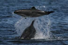 """A California coastal bottlenose dolphin tossing a harbor porpoise in the air"""" or something to that effect. In the one where the dolphin is on the left and the porpoise is upside down on the right - the dolphin used its rostrum to push up violently on the tail of the porpoise which made it cartwheel."""