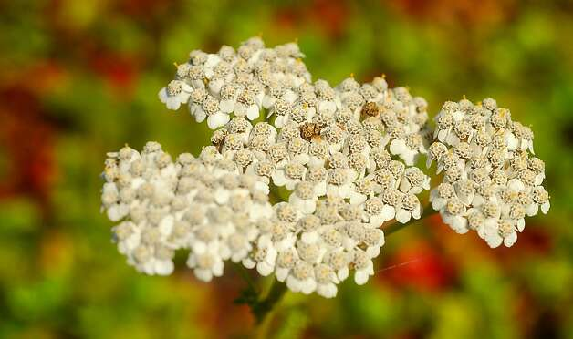 Yarrow, formally known as Achillea millefolium, grows on the California Academy of Sciences' living roof on Friday, Sept. 2, 2011, in San Francisco.  Ran on: 09-18-2011 Photo caption Dummy text goes here. Dummy text goes here. Dummy text goes here. Dummy text goes here. Dummy text goes here. Dummy text goes here. Dummy text goes here. Dummy text goes here.###Photo: sidewalkgarden18_yarrow1314835200SFC###Live Caption:Yarrow, formally known as Achillea millefolium, grows on the California Academy of Sciences' living roof on Friday, Sept. 2, 2011, in San Francisco.###Caption History:Yarrow, formally known as Achillea millefolium, grows on the California Academy of Sciences' living roof on Friday, Sept. 2, 2011, in San Francisco.###Notes:###Special Instructions:**MANDATORY CREDIT FOR PHOTOG AND SF CHRONICLE-NO SALES-MAGS OUT-TV OUT-INTERNET: AP MEMBER NEWSPAPERS ONLY** Ran on: 09-18-2011 Photo caption Dummy text goes here. Dummy text goes here. Dummy text goes here. Dummy text goes here. Dummy text goes here. Dummy text goes here. Dummy text goes here. Dummy text goes here.###Photo: sidewalkgarden18_yarrow1314835200SFC###Live Caption:Yarrow, formally known as Achillea millefolium, grows on the California Academy of Sciences' living roof on Friday, Sept. 2, 2011, in San Francisco.###Caption History:Yarrow, formally known as Achillea millefolium, grows on the California Academy of Sciences' living roof on Friday, Sept. 2, 2011, in San Francisco.###Notes:###Special Instructions:**MANDATORY CREDIT FOR PHOTOG AND SF CHRONICLE-NO SALES-MAGS OUT-TV OUT-INTERNET: AP MEMBER NEWSPAPERS ONLY** Photo: Noah Berger, Special To The Chronicle