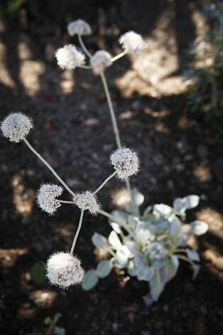 A Seaside Buckwheat sits in Marcia Smythe's new sidewalk garden on Tuesday, Aug. 16, 2011 in San Francisco, Calif.  The garden was installed as part of the city's Grey2Green project. Photo: Russell Yip, The Chronicle