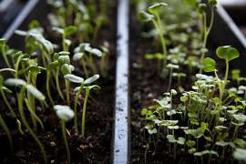 Microgreens grown in the Chronicle rooftop garden are seen on Thursday, July 28, 2011 in San Francisco, Calif.