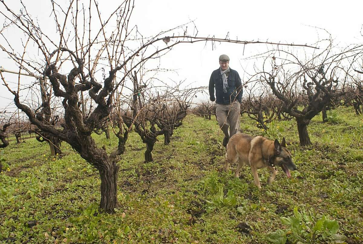 Massican winemaker Dan Petroski and dog, Sophie, visit the Tocai Friulano vineyard in Chiles Valley, Napa County, where he gets the grapes for his wines Monday, Jan. 3, 2011. The vineyard was planted in 1947.