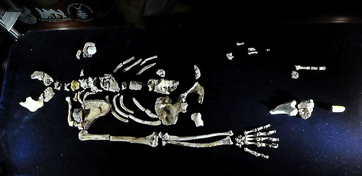The 'Sediba Fossil', the remains of a hominin discovered by Professor Lee Berger, an American who is a professor at South Africa's University of the Witwatersrand, are displayed to the media during its unveiling in Johannesburg, on September 8, 2011. Until now, the first tool-maker was widely believed to be Homo habilis, based on a set of 21 fossilized hand bones found in Tanzania that date back 1.75 million years. However, a close examination of two partial fossilized skeletons of Au. sediba discovered in South Africa in 2008 and the new Sediba Fossil discovery suggest that these creatures who roamed the Earth 1.9 million years ago were crafting tools even earlier, and could be the first direct ancestor of the Homo species. AFP PHOTO / ALEXANDER JOE (Photo credit should read ALEXANDER JOE/AFP/Getty Images)