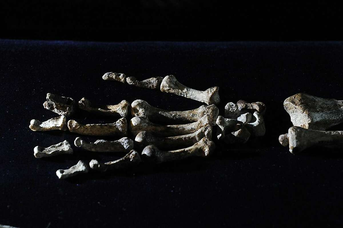 The hand of the 'Sediba Fossil', the remains of a hominin discovered by Professor Lee Berger, an American who is a professor at South Africa's University of the Witwatersrand, are displayed during its unveiling in Johannesburg, on September 8, 2011. Until now, the first tool-maker was widely believed to be Homo habilis, based on a set of 21 fossilized hand bones found in Tanzania that date back 1.75 million years. However, a close examination of two partial fossilized skeletons of Au. sediba discovered in South Africa in 2008 and the new Sediba Fossil discovery suggest that these creatures who roamed the Earth 1.9 million years ago were crafting tools even earlier, and could be the first direct ancestor of the Homo species. AFP PHOTO / ALEXANDER JOE (Photo credit should read ALEXANDER JOE/AFP/Getty Images)