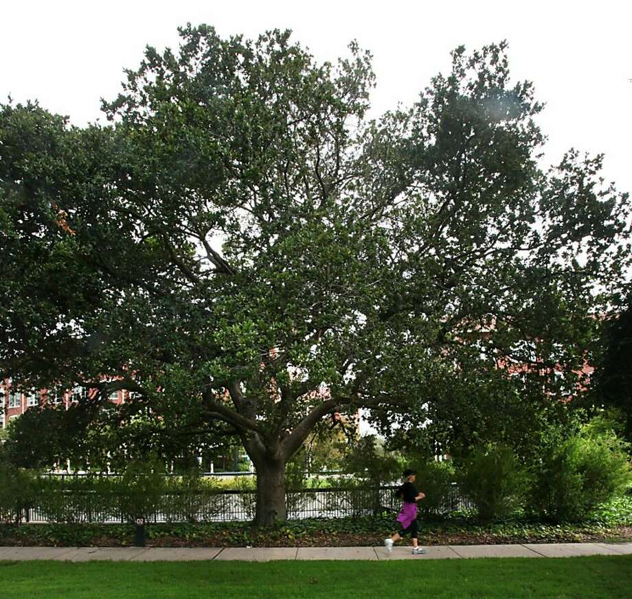 A runner passes a tree just inside of Lombard Gate on Thursday, August 4, 2011 in San Francisco, Calif. Photo: The Chronicle