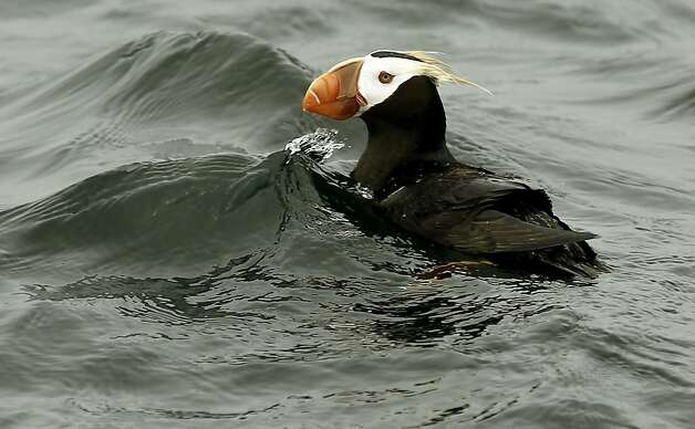 A Tufted Puffin, foats near the Farallon Islands off the coast San Francisco, Ca., on Saturday August 27, 2011. The Gulf of the Farallones boast some of the richest marine wildlife habitat, and these waters are some of the most heavily trafficked shipping lanes in the country. Over the past 10 years, ship strikes have become a major cause of death for blue whales and other large baleen whales, and ship strikes also account for one-third of the whale strandings Last year several endangered whales feeding beyond the Golden Gate were struck and killed in the shipping lanes. Photo: Michael Macor, The Chronicle
