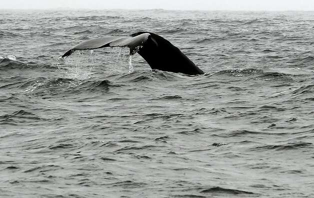 The fluke of a humpback whale breaks the water near the Farallon Islands, off the coast of San Francisco, Ca., on Saturday August 27, 2011. The Gulf of the Farallones boast some of the richest marine wildlife habitat, and these waters are some of the most heavily trafficked shipping lanes in the country. Over the past 10 years, ship strikes have become a major cause of death for blue whales and other large baleen whales, and ship strikes also account for one-third of the whale strandings Last year several endangered whales feeding beyond the Golden Gate were struck and killed in the shipping lanes. Photo: Michael Macor, The Chronicle