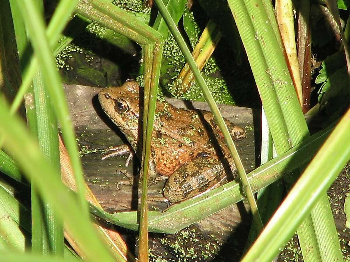 California red-legged frog for 5 Things. Ran on: 02-07-2010 Photo caption Dummy text goes here. Dummy text goes here. Dummy text goes here. Dummy text goes here. Dummy text goes here. Dummy text goes here. Dummy text goes here. Dummy text goes here.###Photo: 5things0207_ph20###Live Caption:California red-legged frog for 5 Things.###Caption History:California red-legged frog for 5 Things.###Notes:###Special Instructions: Ran on: 06-01-2010 Species such as the California red-legged frog would be preserved as part of a comprehensive habitat plan submitted by Stanford University. Ran on: 03-03-2011 Conservation groups say hundreds of egg sacs from California red-legged frogs have been left to wither. Ran on: 03-03-2011 Conservation groups say hundreds of egg sacs from California red-legged frogs have been left to wither.