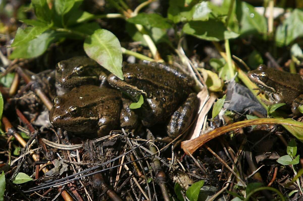 Endangered California red-legged frogs at a creek part of the wetlands in and around Sharp Park Golf Course in Pacifica, Calif., on Monday, March 21, 2011. Ran on: 03-24-2011 California red-legged frogs are food for an even rarer snake. Ran on: 03-24-2011 California red-legged frogs are food for an even rarer snake.