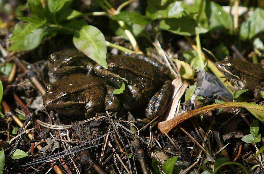 Endangered California red-legged frogs at a creek part of the wetlands in and around Sharp Park Golf Course in Pacifica, Calif., on Monday, March 21, 2011. Ran on: 03-24-2011 California red-legged frogs are food for an even rarer snake. Ran on: 03-24-2011 California red-legged frogs are food for an even rarer snake. Photo: Thomas Levinson, The Chronicle