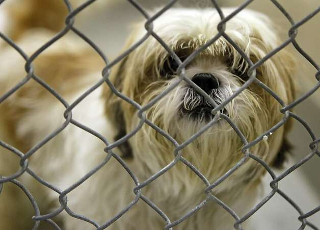 "Juicy a Shih Tzu waits to be adopted at the San Francisco Animal Care and Control office Thursday September 1, 2011 in San Francisco, California. The Shelter is over running with abandoned and surrendered animals do to the economy, so they are holding a half ""Labor of Love"" sale. Photo: Lance Iversen, The Chronicle"