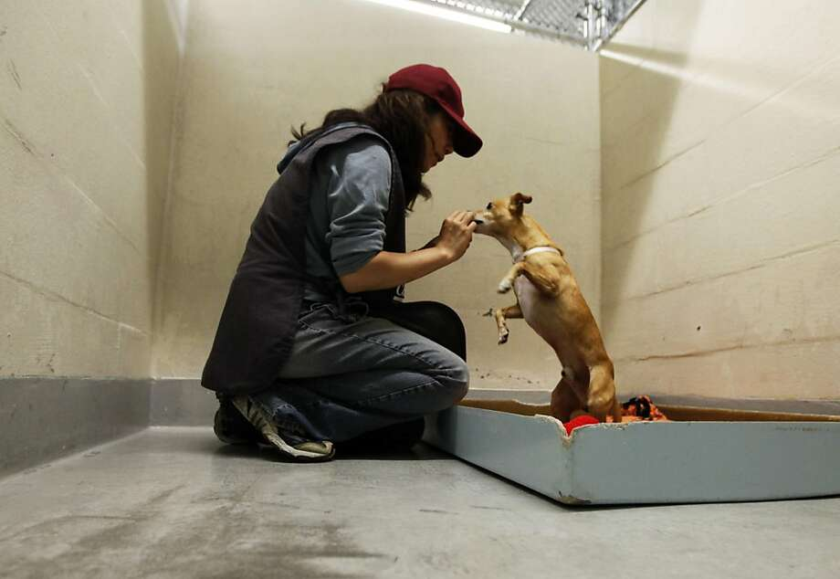 In this file photo, kennel volunteer Miyuki Parviz plays with Charklie and 6 year old Chahua mix at the San Francisco Animal Care and Control office  in San Francisco. Photo: Lance Iversen, The Chronicle