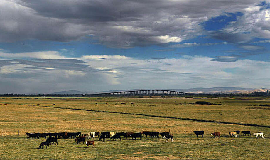 Cattle graze in sight of the Antioch Bridge, rear on Sherman Island that's surrounded by both the Sacramento-San Joaquin Rivers and totally protected by the Delta Levee system. Thursday June 24, 2010. Levee collapses from the Sacramento-San Joaquin Rivers are a constant threaten to towns and farms built next to the levee system, but to introduction of salt water to the system is viewed negatively by most that riley on the levees.   Ran on: 06-27-2010 Cattle graze within sight of Antioch Bridge on Sherman Island, which is surrounded by the Sacramento and San Joaquin rivers and protected by delta levees. Ran on: 06-27-2010 Cattle graze within sight of Antioch Bridge on Sherman Island, which is surrounded by the Sacramento and San Joaquin rivers and protected by delta levees. Photo: Lance Iversen, The Chronicle