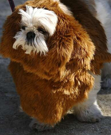 Not sure what this terrier is dressed as ... Chow chow? Grizzly bear? Yak? Rug sample? Photo: Timothy A. Clary, AFP/Getty Images