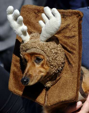 Ginger marches in the New York Halloween Dog Parade, and then it's back home to be remounted above the fireplace mantel. Photo: Timothy A. Clary, AFP/Getty Images