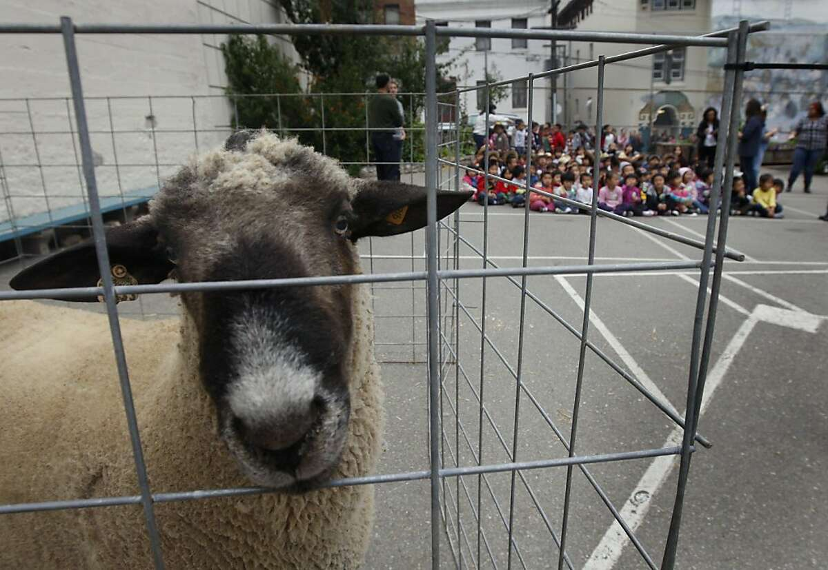 Harry the Hampshire ram waits to be intorduced to students at Gordon Lau Elementary School during Farm Day in San Francisco, Calif. on Thursday, Oct. 20, 2011. The event was held to educate school children about where their food comes from.
