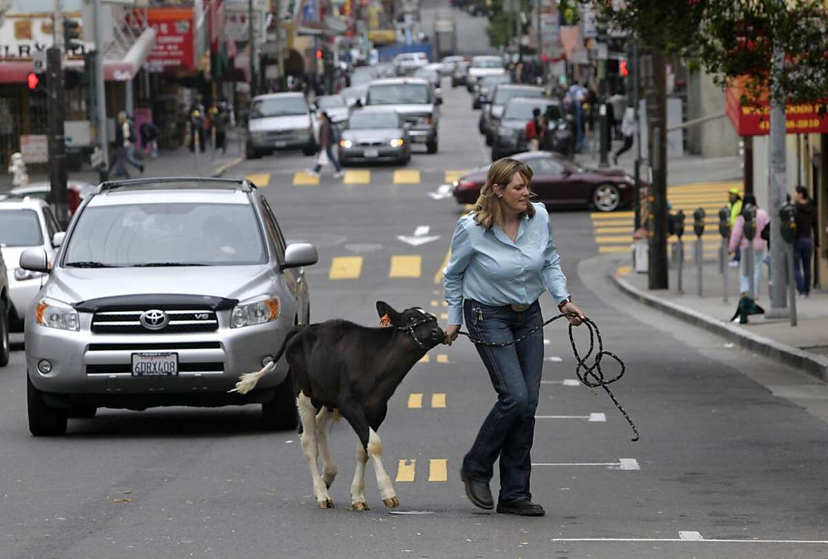 Mel Welcher escorts Norman, a dairy calf, across Washington Street in Chinatown for the Farm Day program at Gordon Lau Elementary School in San Francisco, Calif. on Thursday, Oct. 20, 2011. The event was held to educate school children about where their food comes from.