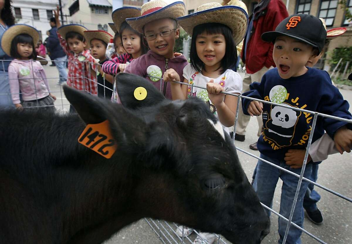 Jacob Domingcil (right) and his kindergarten classmates meet Norman the dairy calf during Farm Day at Gordon Lau Elementary School in San Francisco, Calif. on Thursday, Oct. 20, 2011. The event was held to educate school children about where their food comes from.