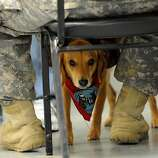 ADVANCE FOR USE SUNDAY, OCT 9 AND THEREAFTER  -  In a Wednesday, Sept. 28, 2011 photo, welcome home dog Jasmine stands between a soldiers feet at Camp Atterbury near Edinburgh, Indiana. Jasmine and other dogs are part of a program that brings in dogs to greet returning soldiers as they make their way through the demobilizing process. (AP Photo/Daily Journal Scott Roberson)