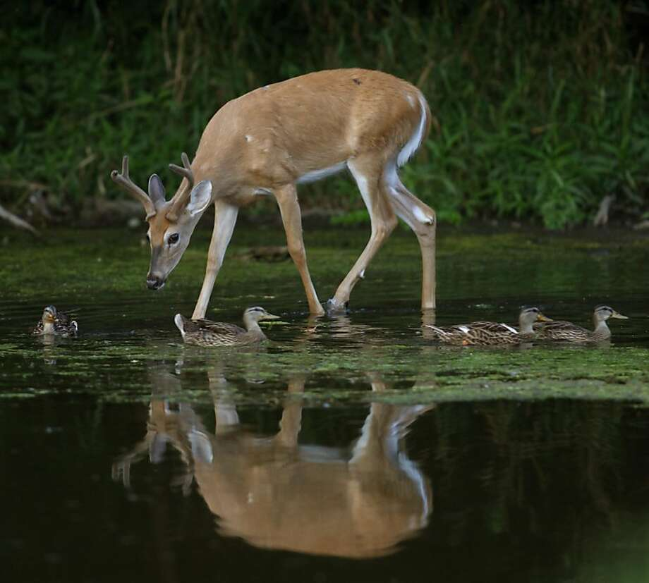 A white-tailed deer buck and mallard ducks move through shallow water in the Greater Fouty-Rutkowski Pond at dusk Friday, Aug. 12, 2011, in East Lansing, Mich. Scientists have discovered conjoined white-tailed deer twins in Minnesota.  Photo: Al Goldis, AP