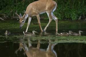 A white-tailed deer buck and mallard ducks move through shallow water in the Greater Fouty-Rutkowski Pond at dusk Friday, Aug. 12, 2011, in East Lansing, Mich. (AP Photo/Al Goldis)