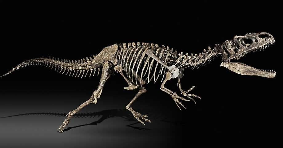 The complete skeleton of a 33-foot Allosaurus is shown on July 12, 2010, in this handout photo. Sotheby's sold it in October at a world record price for a dinosaur at auction. Source: Sotheby's via Bloomberg EDITOR'S NOTE: NO SALES. EDITORIAL USE ONLY. The complete skeleton of a 33-foot Allosaurus is shown on July 12, 2010, in this handout photo. Sotheby's sold it in October at a world record price for a dinosaur at auction. Source: Sotheby's via Bloomberg EDITOR'S NOTE: NO SALES. EDITORIAL USE ONLY. Photo: Sotheby's Via Bloomberg