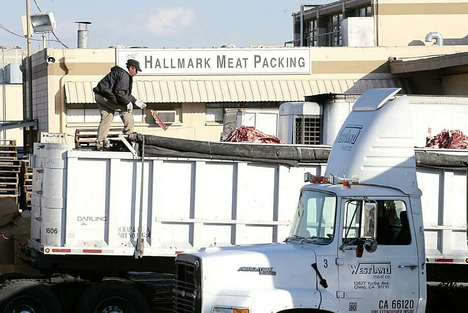 "A worker throws a piece of meat among the cattle carcases scraps dropped into a parked truck at the Hallmark Meat Packing slaughterhouse in Chino, Calif. Wednesday, Jan. 30, 2008. Video footage showed workers at Hallmark Meat Packing repeatedly kicking cows and ramming them with the blades of a forklift as the animals squealed in pain. Hallmark supplies the Westland Meat Company, which processes the carcasses. The facility is a major supplier to a USDA program that distributes beef to needy families, the elderly and to schools through the National School Lunch Program. Westland was named a USDA ""supplier of the year"" for 2004-2005 and has delivered beef to schools in 36 states.(AP Photo/Damian Dovarganes) Ran on: 02-20-2008 A worker throws a piece of meat into a truck at the Hallmark slaughterhouse in Chino. Photo: Damian Dovarganes, AP"