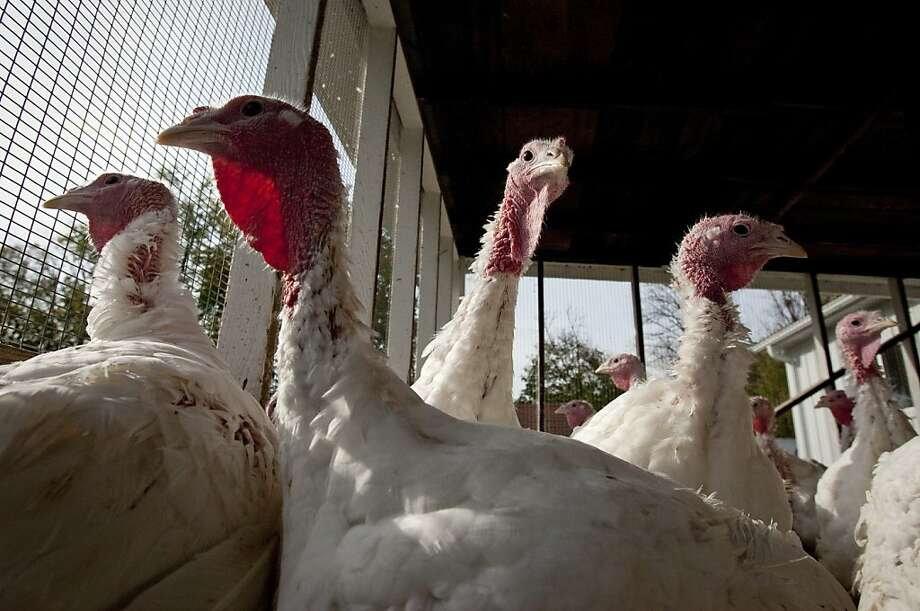 Turkeys are raised in a pen at the Goffle Road Poultry Farm in Wyckoff, New Jersey, U.S., on Thursday, Nov. 3, 2011. Wheat may rebound should livestock and poultry farmers use more in feed as a substitute for higher-priced corn, according to Rabobank International. Photographer: Scott Eells/Bloomberg Photo: Scott Eells, Bloomberg