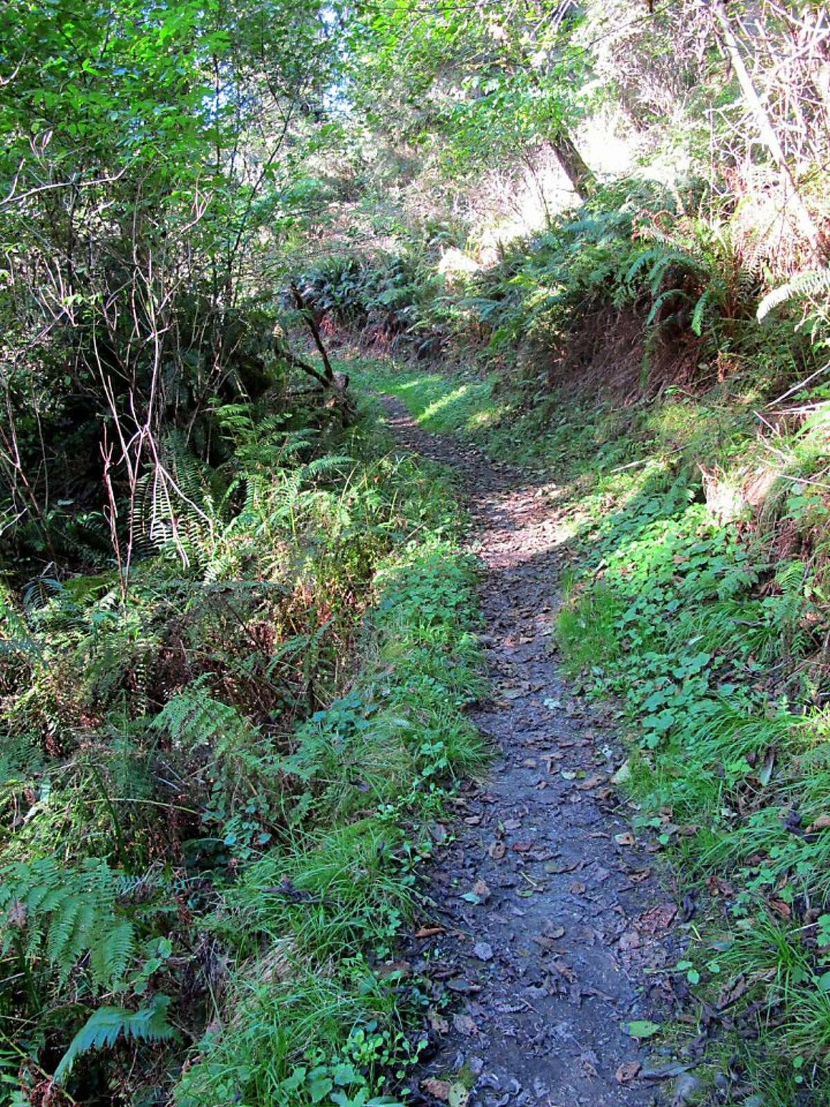 The Coastal Trail at Prairie Creek Redwoods runs in and out of alder and spruce forests north to Ossagon Rock. Photo: Michael Furniss