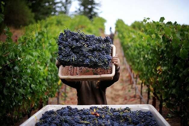 Pinot Noir being gathered by harvest worker Noe Benavidas, 19, of Santa Rosa at Burt WilliamsÕ 12-acre Morning Dew vineyard in Philo, California in Anderson Valley. October 2, 2011  Ran on: 10-09-2011 Harvest worker Noe Benavidas gathers Pinot Noir grapes at Burt Williams' 12-acre Morning Dew vineyard in the Anderson Valley town of Philo. Ran on: 10-09-2011 Harvest worker Noe Benavidas gathers Pinot Noir grapes at Burt Williams' 12-acre Morning Dew vineyard in the Anderson Valley town of Philo. Photo: Erik Castro, Special To The Chronicle