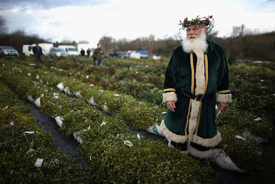 TENBURY WELLS, ENGLAND - NOVEMBER 29: Green Santa, Michael Pritchard, wearing a crown of mistletoe and holly, walks among this year's crop of mistletoe at the annual Tenbury Wells Mistletoe Auction, on November 29, 2011, Tenbury Wells, England. Ancient druids believed mistletoe had magical properties because of the way it grows, never touching the ground and without taking nourishment from the earth. Tenbury Wells has been the traditional mistletoe capital for over 150 years. Druids blessed this year's crop before buyers put their bids in for the festive plant. The tradition of kissing under the mistletoe at Christmas comes from the belief that mistletoe aids fertility.  (Photo by Christopher Furlong/Getty Images) Photo: Christopher Furlong, Getty Images
