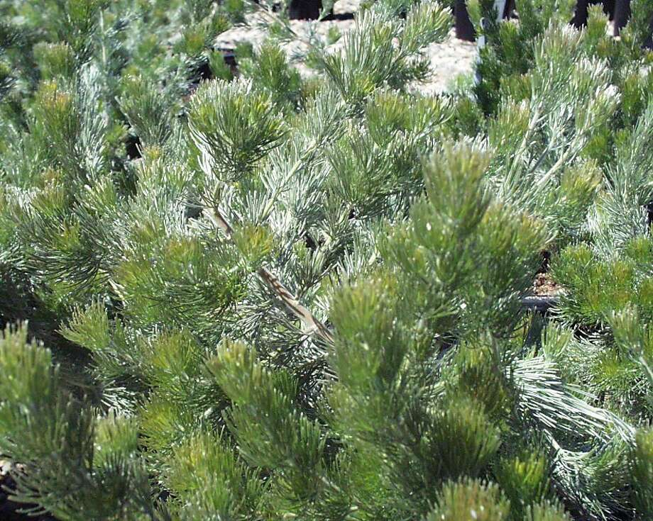 Adenanthos sericeus, known as Wooly bush. Photo: San Marcos Growers