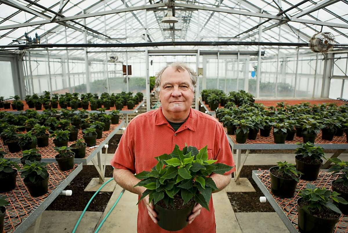 George Vaughan, chief nursery specialist at Golden Gate Park Nursery, stands among various poinsettia on Tuesday, Oct. 18, 2011 in San Francisco, Calif.