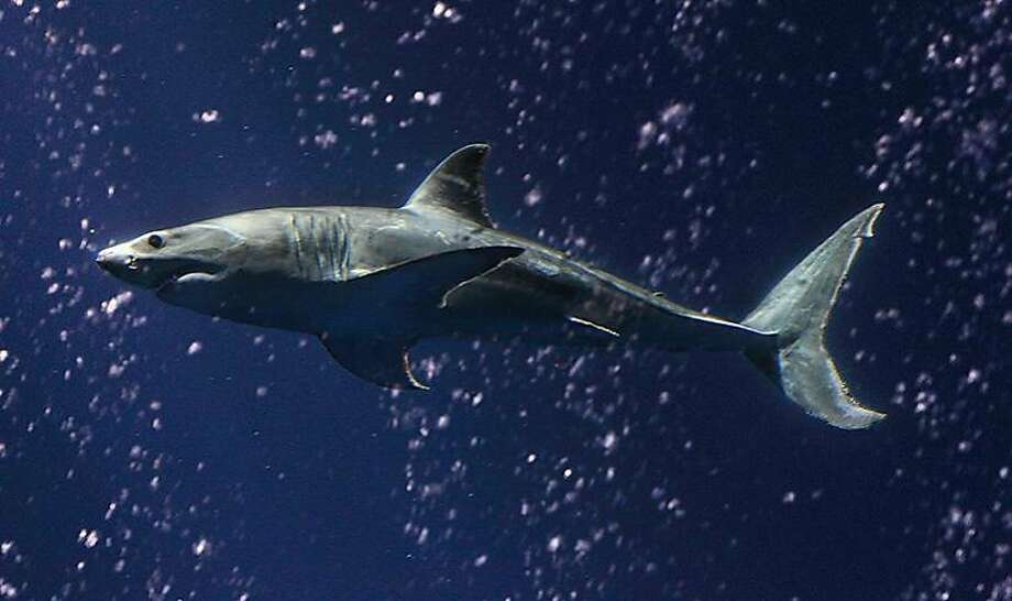 shark dies after release from monterey exhibit sfgate