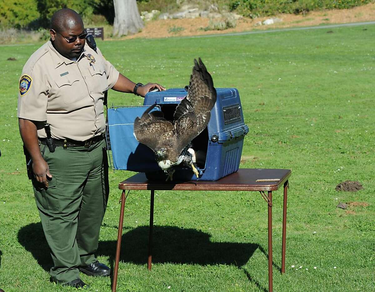 A red tail hawk was released at the Botanical Gardens in Golden Gate Park in San Francisco on November 2 2011. The hawk was shot in the face with a nail gun and was rescued last week.