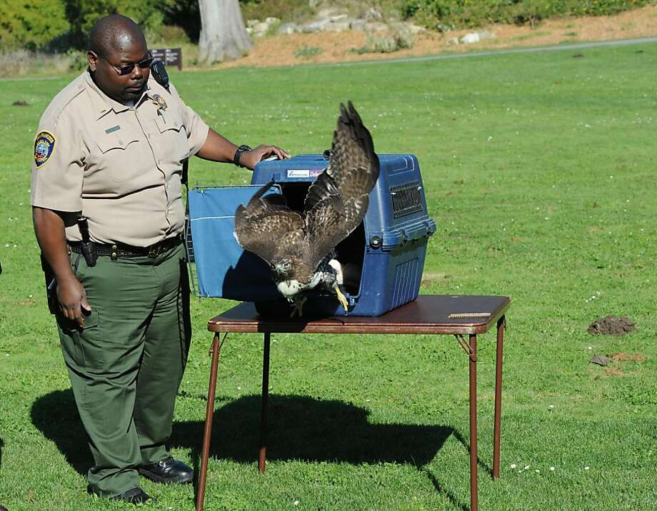 A red tail hawk was released at the Botanical Gardens in Golden Gate Park in San Francisco on November 2 2011. The hawk was shot in the face with a nail gun and  was rescued last week. Photo: Susana Bates, Special To The Chronicle