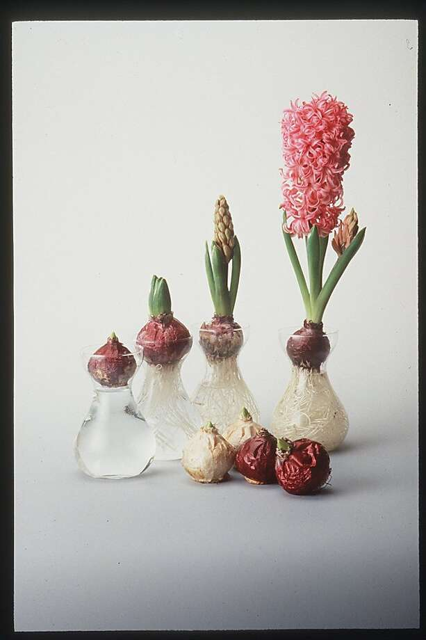 HYACINTH-FORCING/C/8OCT97/HM/SALLY FERGUSON SPECIAL TO THE CHRONICLE. FORCING HYACINTHS STAGES Ran on: 11-08-2006 Hyacinth vases have narrow necks that hold a bulb above the water. In a wide-mouth container, toothpicks can hold up bulbs.  Ran on: 11-06-2011 Forced hyacinths growing in stages. Photo: Sally Ferguson, Special To The Chronicle