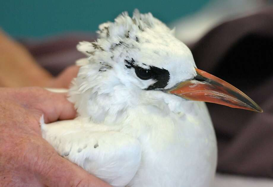 A Red-tailed Tropicbird that stowed away on a ship from Korea last month is shown on Nov. 2, 2011 at the International Bird Rescue's Wildlife Center in San Pedro, Calif.  The stowaway seabird found on a cargo ship from Korea, is being flown by on a jetliner from Los Angeles to Honolulu and the Midway Atoll, where it will be released. The bird apparently flew aboard a container ship in the central Pacific and was found after arrival at the Los Angeles Harbor.  (AP Photo/The Daily Breeze,  Brittany Murray) Photo: Brittany Murray, AP