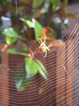 An orb weaver spins a web.